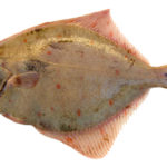 Inferring survival rates of discarded plaice from fishing vessesls